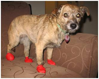 Billie with PAWZ boots for dogs indoors