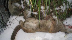 Dead cougar