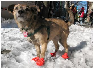 Billie wearing PAWZ boots for dogs outside